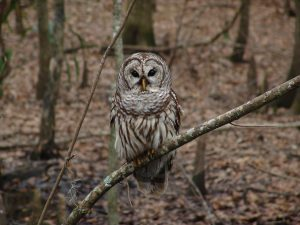 barred-owl-541173_1920